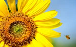 BURCUNUZA GÖRE ÇİÇEĞİNİZİ SEÇİN SPR AMBAR_aslan_ay çiçeği