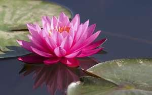 BURCUNUZA GÖRE ÇİÇEĞİNİZİ SEÇİN SPR AMBAR_balık_lotus